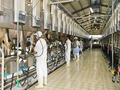Vinamilk: 2 trang trại bò sữa đạt tiêu chuẩn ISO 9001:2008