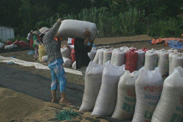 Vì sao xuất khẩu gạo 9 tháng đầu năm bị giảm?