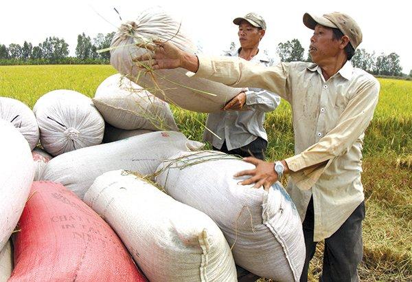Xuất khẩu gạo: còn nhiều ngộ nhận