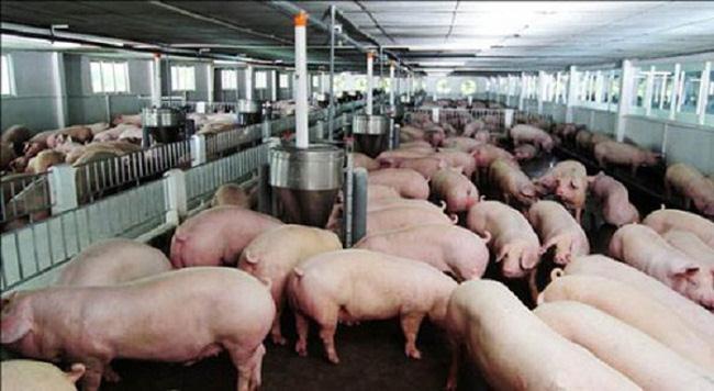 Thêm doanh nghiệp báo lỗ nặng quý 2 do giá lợn giảm sâu