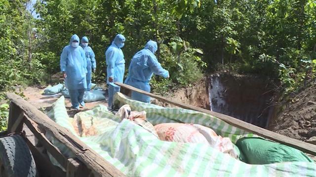 Xuất hiện ổ dịch tả lợn châu Phi ở Phú Yên