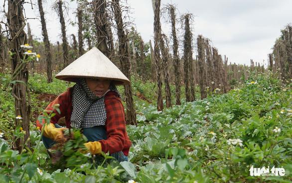 Vượt quy hoạch 100.000ha, hồ tiêu Việt Nam gặp khủng hoảng - Ảnh 1.