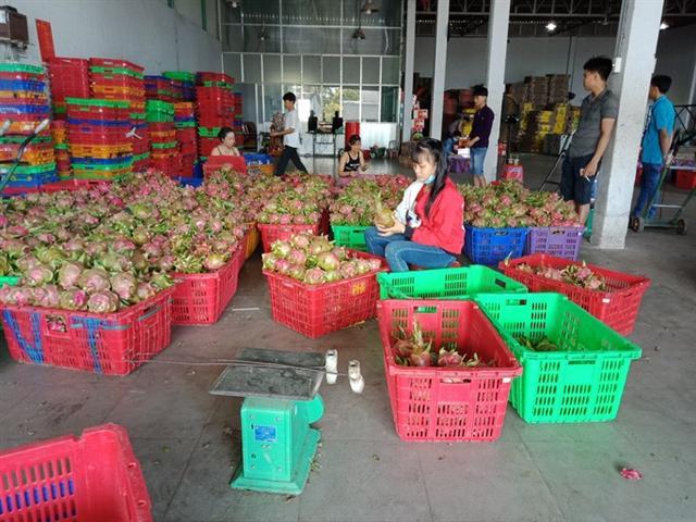 Thanh long, dưa hấu rớt giá còn 6.000 đồng/kg vì thị trường Trung Quốc bấp bênh - Ảnh 2.