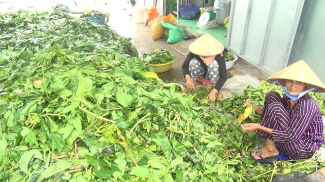 Từng 'làm mưa làm gió', giá trái nhàu rớt thảm còn 3.000 đồng/kg hình ảnh 4