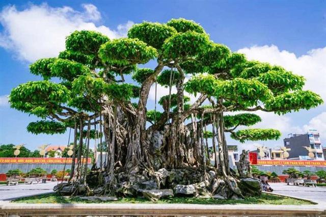 Choáng với cây sanh cổ được định giá hơn 20 triệu USD, gấp 3-4 lần cây Mâm xôi con gà - Ảnh 1.