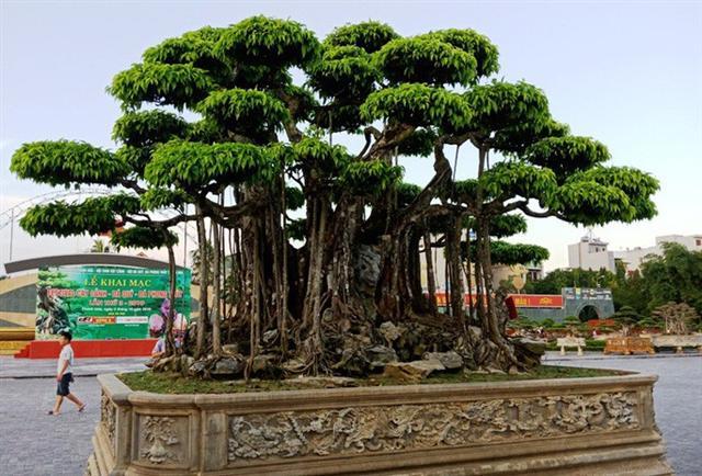 Choáng với cây sanh cổ được định giá hơn 20 triệu USD, gấp 3-4 lần cây Mâm xôi con gà - Ảnh 3.