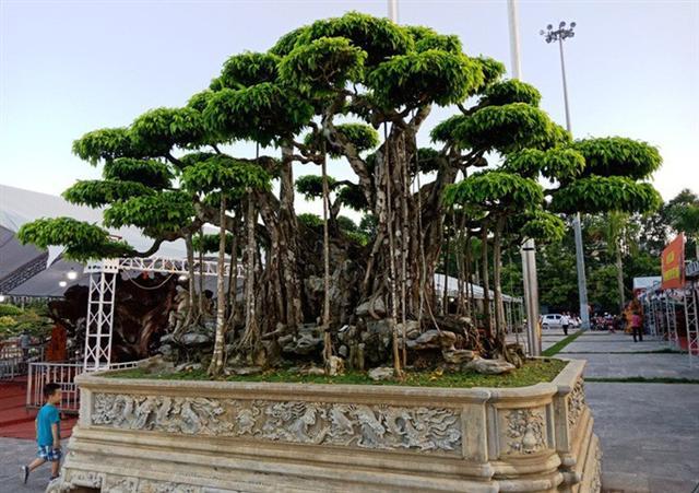 Choáng với cây sanh cổ được định giá hơn 20 triệu USD, gấp 3-4 lần cây Mâm xôi con gà - Ảnh 4.