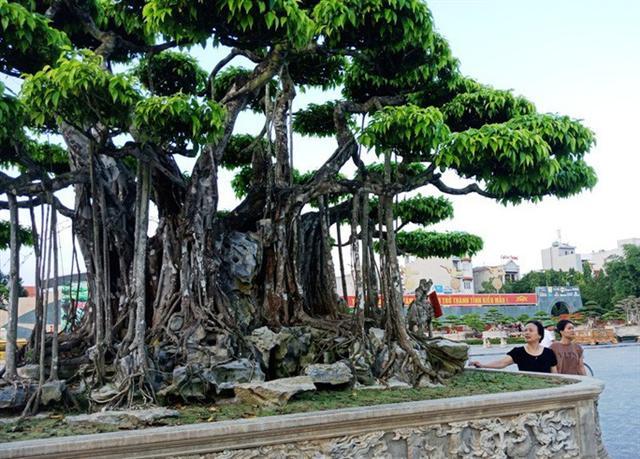 Choáng với cây sanh cổ được định giá hơn 20 triệu USD, gấp 3-4 lần cây Mâm xôi con gà - Ảnh 5.