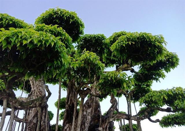 Choáng với cây sanh cổ được định giá hơn 20 triệu USD, gấp 3-4 lần cây Mâm xôi con gà - Ảnh 6.