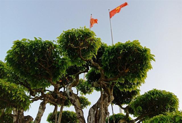 Choáng với cây sanh cổ được định giá hơn 20 triệu USD, gấp 3-4 lần cây Mâm xôi con gà - Ảnh 7.