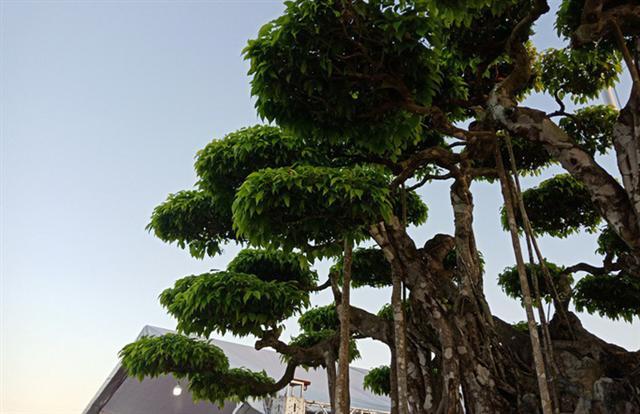 Choáng với cây sanh cổ được định giá hơn 20 triệu USD, gấp 3-4 lần cây Mâm xôi con gà - Ảnh 8.