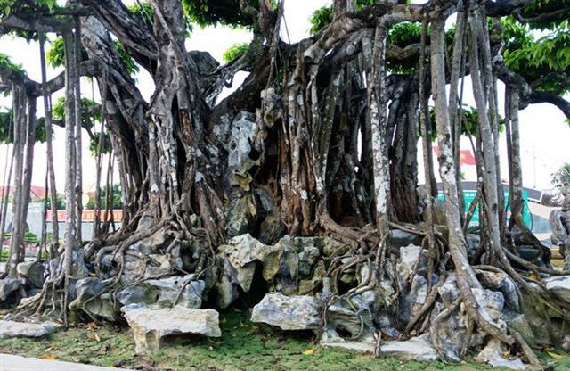Choáng với cây sanh cổ được định giá hơn 20 triệu USD, gấp 3-4 lần cây Mâm xôi con gà - Ảnh 9.