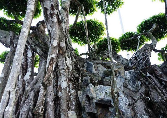 Choáng với cây sanh cổ được định giá hơn 20 triệu USD, gấp 3-4 lần cây Mâm xôi con gà - Ảnh 10.