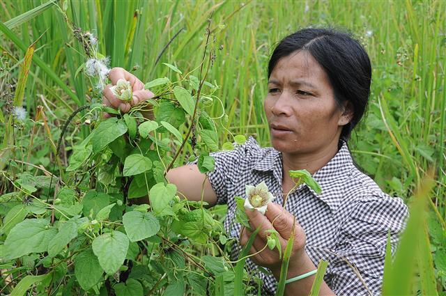 Phận má hồng đổi đời nhờ trồng loài sâm dây ở xứ sở sương mù hình ảnh 1