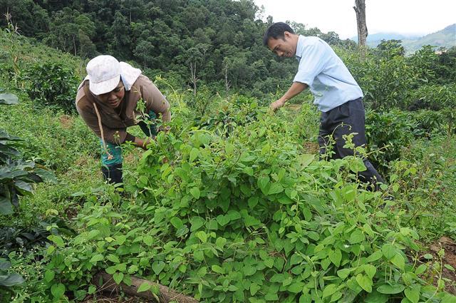 Phận má hồng đổi đời nhờ trồng loài sâm dây ở xứ sở sương mù hình ảnh 3