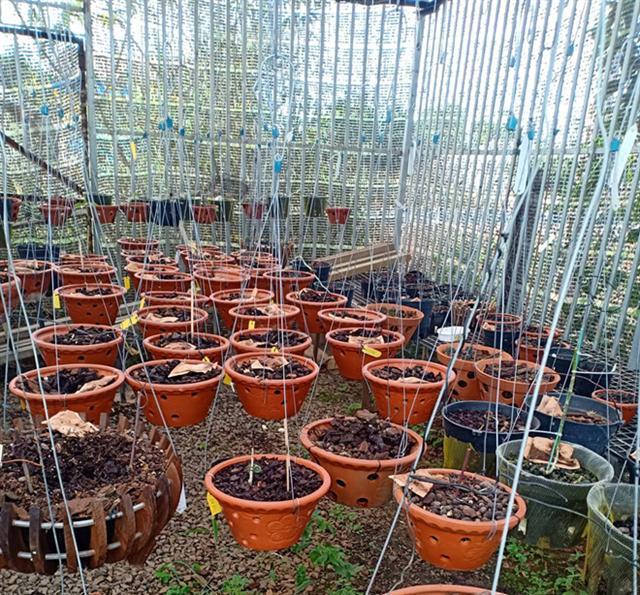 Mất trộm 150 giò phong lan tiền tỉ, chủ vườn ngất xỉu nhập viện