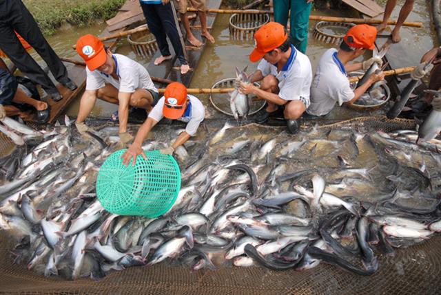 Giá cá tra giảm mạnh do dịch bệnh Covid-19